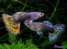Types of guppies - there are several types of guppy fish that you can make as a pet. In addition to the beautiful color, guppy fish care is not too difficul Guppy, Best Aquarium Fish, Freshwater Aquarium Fish, Fishing For Beginners, Fish Care, Underwater Creatures, Marine Fish, Live Fish, Angel Fish