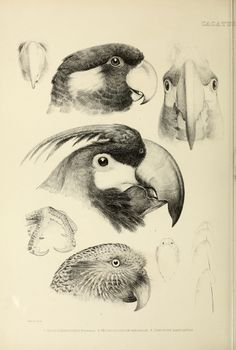 (1844-1849) - The genera of birds : - Biodiversity Heritage Library