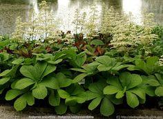 Rodgersia aesculifolia (Schout bij nacht), luchtige bloempluimen, groot, mooi handvormig blad, mooie bladplanten, groeien op zwaar humusrijke en vochtige grond, in winter zijn stengels ingedroogd, mooi bij rijp en vorst