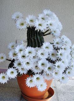Cactus in beautiful full bloom
