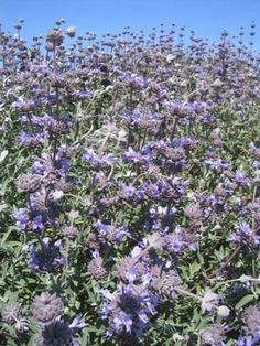 Salvia clevelandii (Cleveland Sage). Native California sage. Perennial. Blue flowers with seed heads. Bluish gray foliage. Drought by patrica