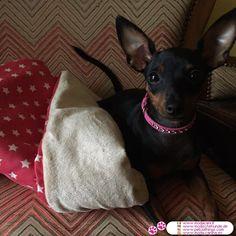 Collar Rosa Vivo en Falso Cuero con Strass #ModaCanina #Pinscher - Nuevo modelo de collar para perros pequeños (Chihuahua, caniche, maltés, ..), en rosa Vivo, hecho de piel sintética y decorado con strass
