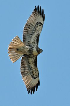 Red Tail Hawk, terror of the neighborhood and frequent visitor to my feeder. Pretty Birds, Beautiful Birds, Animals Beautiful, All Birds, Birds Of Prey, Angry Birds, Aigle Animal, Photo Animaliere, Red Tailed Hawk
