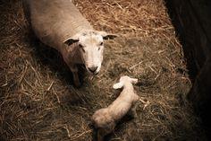 Miejsce dla każdej owcy! http://puszystaowca.pl/wypas-owiec/