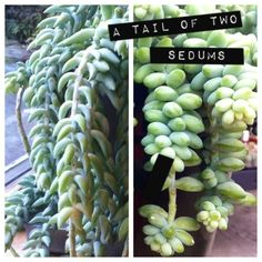 A Tail of Two Sedums. Have you ever heard of the succulent called Donkey's Tail? Perhaps you heard it called Burro's Tail instead? There are actually two different but very similar succulents that are both called those names. Sedum morganum and Sedum burrito. Can you tell the difference between the two plants shown in the photo?