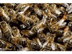 Kiedy pszczoła zniknie z powierzchni ziemi, to..... Albert Einstein.