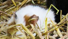 Guinea Pigs, My Photos