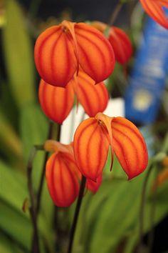 Masdevallia ignea 'Solar' - Orchid