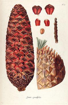 Zamia cycadifolia