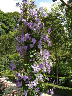 PlantFiles Pictures: Clematis, Late Large-flowered Clematis 'Prince Charles' (Clematis) by kniphofia Clematis Vine, Famous Daves, Passion Flower, Prince Charles, Outdoor Spaces, Vines, Projects To Try, Home And Garden, Gardening