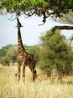 Twiga (giraffe) in Arusha National Park, Tanzania  2015 here we come, can't wait!