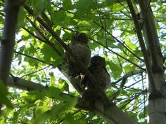 Two of Five near Gage Park, Hamilton, Ontario: My neighbour had 5 of these in her tree and then two of them decided to reside in our tree during the daylight hours.   There was a Robin screeching at