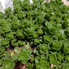 """Sedum spurium - Dr. John Creech stonecrop. Small, scalloped green leaves with small pink flowers. Full sun to part shade.  From Siberia.  2-4"""" tall, 10-12' wide.  Do not over water.  Fertilize with low nitrogen fertilizer 1-2 time during growing season."""