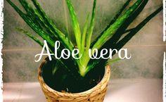 Le gel d'Aloe Vera: une gorgée d'éléments nutritifs pour la peau - Actubio.  www.laloe-tu-verras.fr