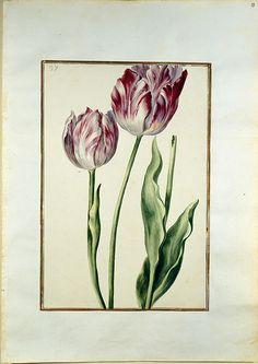Karlsruher Tulpenbuch, Blatt 37