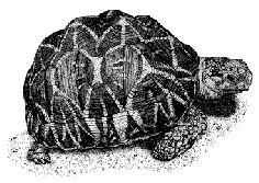 black and white tortoise