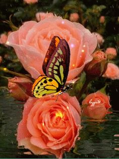 Lovely peachy color roses /w yellow butterfly
