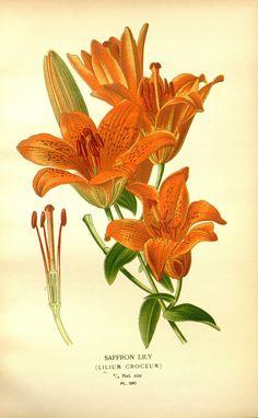 botanical prints lilium - Buscar con Google