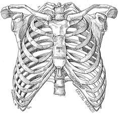 ribcage-illustration.jpg (744×714)