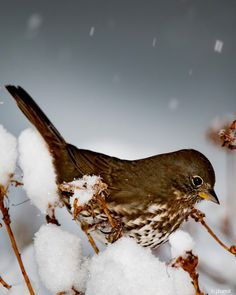 Fox Sparrow trying to get by after a foot of snow fell overnight above Johnson Creek in Portland, Oregon (USA) on1/11/17.