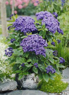 Lila Blüten der Vanilleblume (Heliotrop) - Pflanzen für Südbalkone