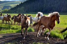 Janine Cifelli  @JanineCifelli  The horses coming in from the @RockCreekRanch pasture...a beautiful sight #FriFotos