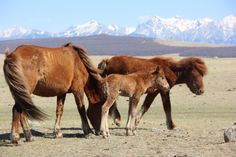 Mongolian baby horse and family