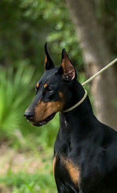 Doberman  #doberman #dog #dublindog
