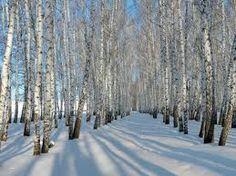 Bildergebnis für birken im schnee bilder