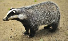 MPs vote overwelmingly to halt badger cull in England | Environment | theguardian.com Badger Pictures, Badger Images, Badger Illustration, Animals And Pets, Cute Animals, Wild Animals, Honey Badger, Magic Forest, British Wildlife