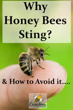 honey bee stinging human finger- why honey bees sting Why Do Bees Sting, Honey Bee Sting, Honey Bees, Remedies For Bee Stings, Bee Hive Plans, Buzzy Bee, Bees And Wasps, Bee Friendly, Bee Happy