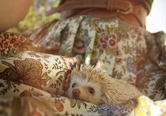 African pygmy hedgehog (by the looks of it).