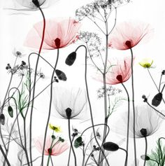 X-ray flowers - Poppies, buttercups, cow parsley Botanical Art, Botanical Illustration, Watercolor Flowers, Watercolor Paintings, Watercolours, Art Pastel, Motif Floral, Flower Art, Xray Flower