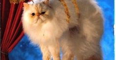 Fluffy did not appreciate being cast as a kitty angel for the Christmas pageant.