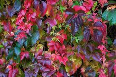 Parthenocissus quinquefolia - Virginia creeper