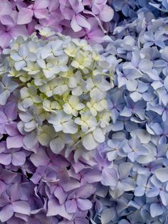 Hydrangeas. Mother would make me a huge bouquet for my birthday every year using her most beautiful Waterford vase.