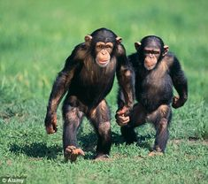Desperate zookeepers turn to online dating for ANIMALS to find ideal mates for rare species : Everyone is online dating now! Desperate zookeepers turn to online dating for ANIMALS to find ideal mates for rare species. Zoo Animals, Animals And Pets, Funny Animals, Cute Animals, Primates, Beautiful Creatures, Animals Beautiful, Baby Chimpanzee, Types Of Monkeys