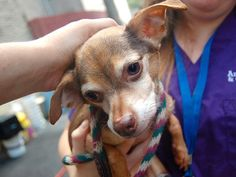 TO BE DESTROYED - SATURDAY - 8/30/14 Manhattan Center   LIBERTY - A1011458   MALE, TAN / BLACK, CHIHUAHUA SH MIX, 10 yrs STRAY - STRAY WAIT, NO HOLD Reason STRAY  Intake condition EXAM REQ Intake Date 08/21/2014, From NY 10029, DueOut Date 08/24/2014,   https://www.facebook.com/Urgentdeathrowdogs/photos/a.611290788883804.1073741851.152876678058553/859668104046070/?type=3&theater