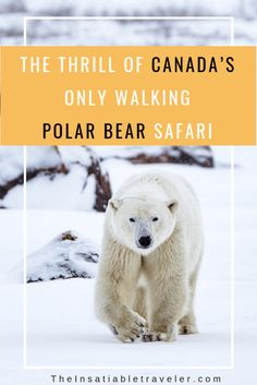 The Thrill of Canada's only Polar Bear Walking Photo. What it was like to have the world's largest land carnivore within 30 feet. How you can indulge in the adventure. Canada Travel, Travel Usa, Travel Tips, Travel Advice, Travel Guides, Alberta Canada, Churchill, National Geographic, Canada Vancouver