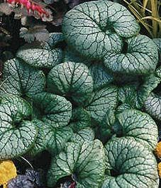 Brunnera: A star plant for shade
