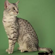 Egyptian Mau Gracie's cat Saladin the 39 clues