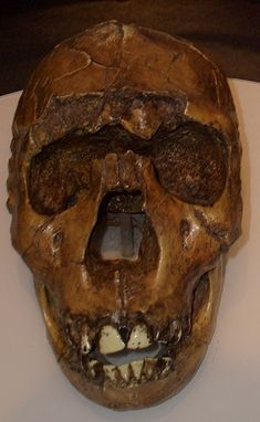 Homo ergaster skull reconstruction of the Turkana Boy/Nariokotome Boy from Lake Turkana, Kenya. Museum of Man, San Diego. Prehistoric Man, Early Humans, Human Evolution, Archaeological Discoveries, Ancient Artifacts, Before Us, Skull And Bones, Ancient Civilizations, Sculptures