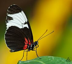 Butterfly - Heliconius sapho leuce by Salvatore Capici #EasyNip