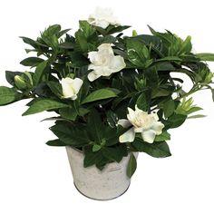 Gardenia + Free Diary  http://www.jerseyplantsdirect.com/gardenia-1