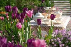 Spring Combination Ideas, Bulb Combinations, Plant Combinations, Flowerbeds Ideas, Spring Borders,Tulip mistress, Tulip Negrita, Tulip Fancy Frills, Tulip Curly Sue,Tulipa Mistress, Tulipa Negrita, Tulipa Fancy Frills