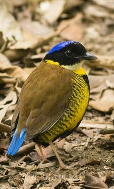 Gurney's Pitta  This bird is a resident of Thailand. Very rare and extremely endangered. An endemic bird found only in southern Thailand...