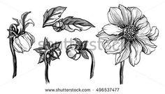 Wild dahlia flower blossom. Botanical retro vintage hand drawn watercolor black and white monochrome illustration set for wedding invitation, print, textile, design. Japanese style. Tropical, exotic.