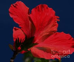 Underneath a red hibiscus flower reaching for the sun light. Watermark will not appear on your print. #redhibiscus #redflower
