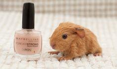 Baby guinea pig.