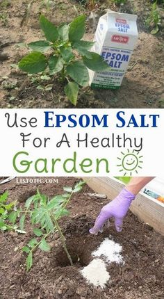 For potted plants, mix a couple of tablespoons of the salt into your watering can once or twice a month. You can also sprinkle it in your garden's soil to help your seeds germinate better. Tomatoes and peppers benefit the most because they both tend to have a magnesium deficiency. Add a tablespoon or so in with the soil when first planting, and then sprinkle more into the soil once mature. #gardeningideas